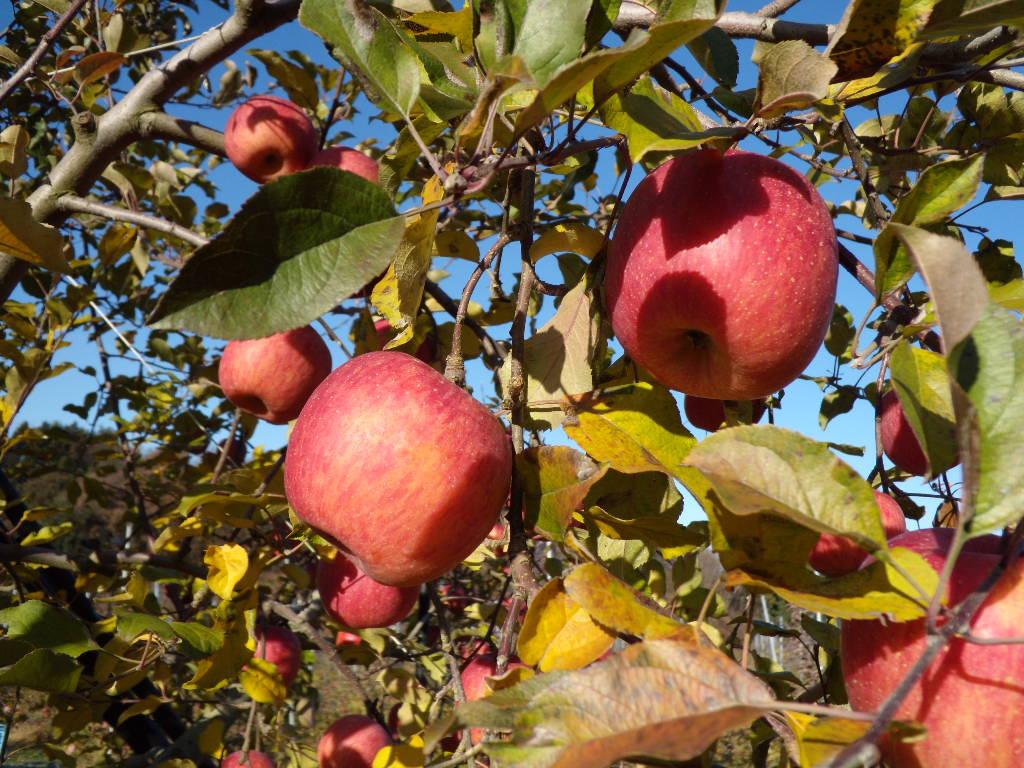 リンゴ栽培